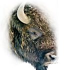 Bull bison by Linda Sparks