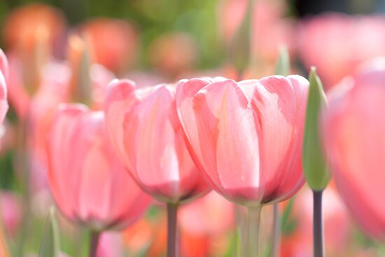 Tulips by Maxim Mayorov