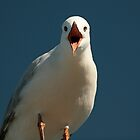 the gull. inverloch, victoria by tim buckley | bodhiimages