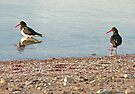 Pied Oystercatchers by Margaret  Hyde