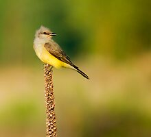 Western Kingbird by John  De Bord Photography