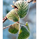Frosted Leaves by Stephen Knowles
