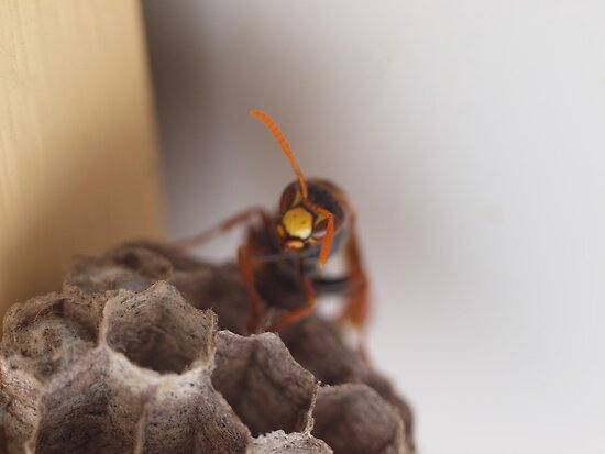 paper wasp, nesting by Tom McDonnell