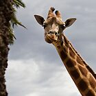 Girraff Faces by Andrew Phipps