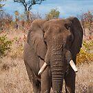 Elephant, Kruger National Park, South Africa by Erik Schlogl