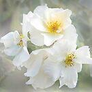 Milk Roses by White Owl