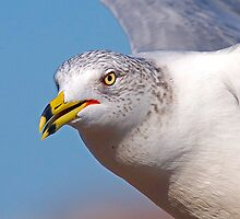 Seagull upclose and inflight by imagetj