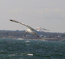 Seagull in Flight by NealEslinger