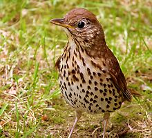 Where's The Best Place To Find Worms In A Drought? - Song Thrush - NZ by AndreaEL