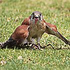 Kestrel Feeding by Brndimage