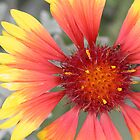 Gazania Flower by STHogan
