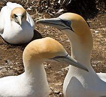 gannet colonythree gannets by Anne Scantlebury