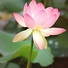Glowing Lotus Blossom by lindabeth
