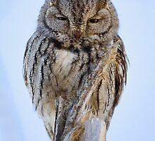 Screech Owl by Kim Barton