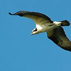 Osprey by Margaret  Shark