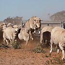 Sheep Olympics by Malcolm Katon