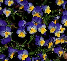 Pansy Patch by Sea-Change