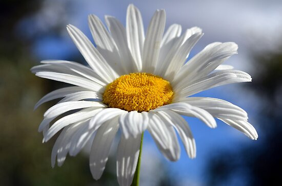Daisy in the sun by gmws