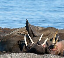 Sunning walrus by michaelpartis