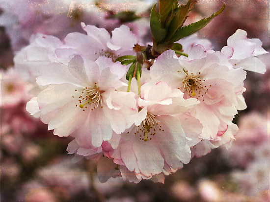 Cherry Blossom by Julie Paterson