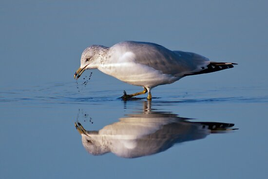 Ring-billed Gull by Michael Mill