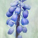 Grape Hyacinth by OpalFire