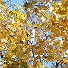 Birch in Fall by Mellinda