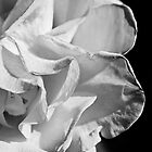 Rose in Black and White by ZWC Photography