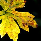 maple leaf in the sun by tego53