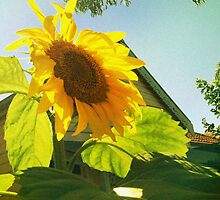 Sunflower and Blue Sky by Renny Roccon