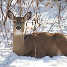 Deer In Winter by lorilee
