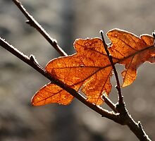 Frosted Leaf by Harry Purves