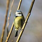 blue tit by Brett Watson Stand By Me  Ethiopia