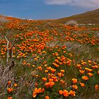 Desert Poppies by photosbyflood