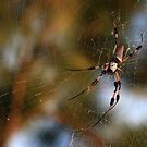 Golden Silk Orb-Weaver by Virginia N. Fred