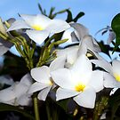 White Plumeria by ♥⊱ B. Randi Bailey