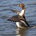 Northern Pintail by Alinka