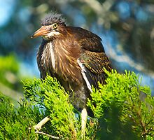 Baby Green Backed Heron by imagetj