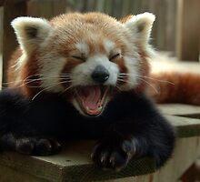Yawning Himalayan red panda by Stan Daniels