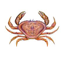 Dungeness Crab (Metacarcinus magister) Photographic Print