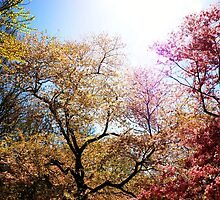 The Grandest of Dreams - Cherry Blosssoms - Brooklyn Botanic Garden by Vivienne Gucwa