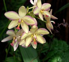 Mother of Pearl Orchids by Don Wright