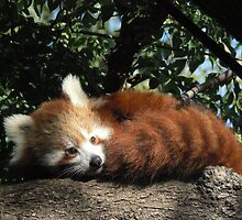 Nepalese Red Panda by Margaret Saheed