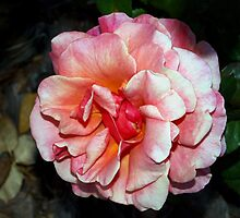 Pink rose in partial shade by ♥⊱ B. Randi Bailey