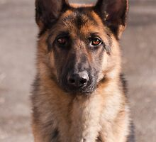 German Shepherd Dog by elainejhillson