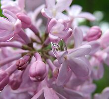 Lilac Scented Raindrops by Tracy Faught