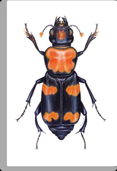 American Burying Beetle by Tamara Clark