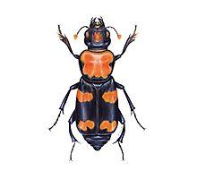 American Burying Beetle Photographic Print