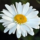 Daisy by Jeanette Muhr