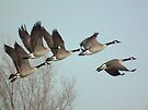 Geese In Flight at Sweet Marsh by Deb Fedeler